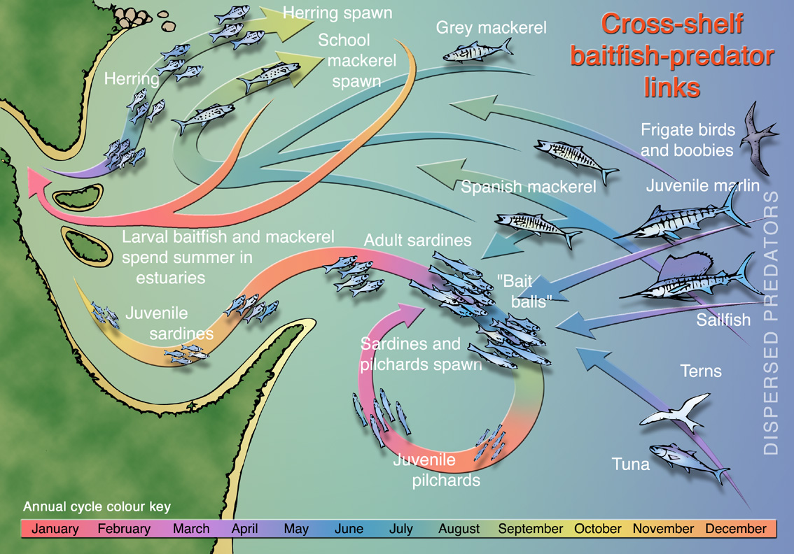 A graphic designed to powerfully communicate the complex temporal and spatial ecology of a tropical estuary. Part of a book chapter co-authored Dr Mike Cappo at the Australian Institute of Marine Science.